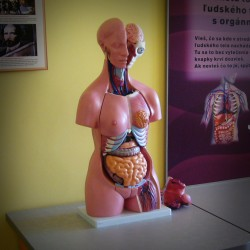 The model of the human body